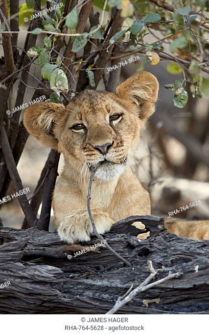 Lion (Panthera leo) cub playing with a branch, Selous Game Reserve, Tanzania, East Africa, Africa