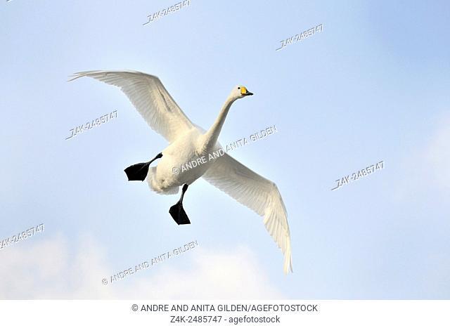 Whooper Swan (Cygnus cygnus) in flight, Lake Kussharo, Akan National Park, Hokkaido, Japan
