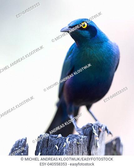 Close-up of a Cape Glossy Starling (Lamprotornis nitens), Botswana