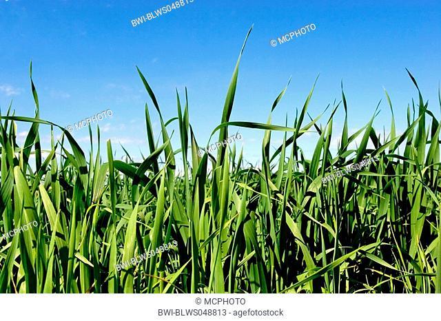 grain field under a blue sky