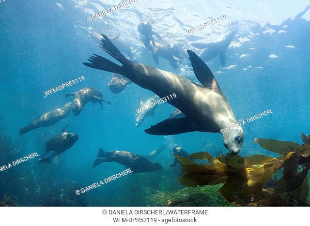 California Sea Lion, Zalophus californianus, Cedros Island, Mexico