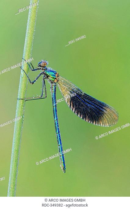 Banded Demoiselle, male, North Rhine-Westphalia, Germany / Calopteryx splendens, Agrion splendens