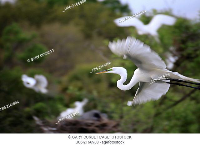 A great egret flying in to the Venice heronry. The great egret (Ardea alba) also known as common egret, large egret or great white heron,is a large