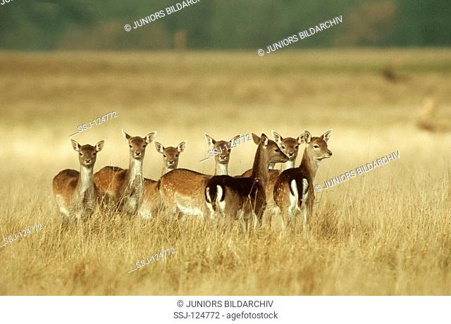 young fallow deers on meadow - Dama dama