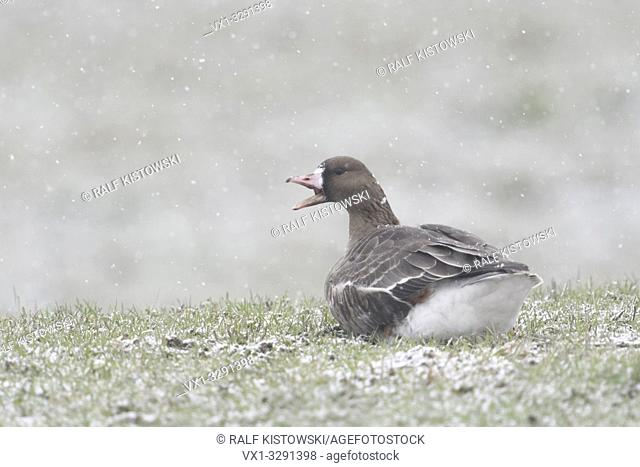 Greater White-fronted Goose / Blaessgans ( Anser albifrons ), single bird, lying, resting on a pasture in snowfall, calling loudly, wildlife, Europe