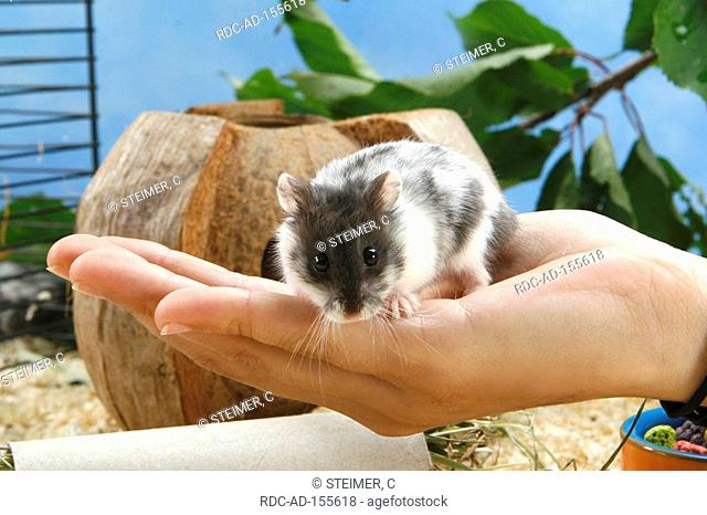 Campbell's Russian Dwarf Hamster on human hand Phodopus campbelli