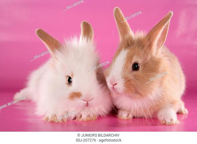 Dwarf rabbit. Two young rabbits next to each other. Studio picture against a pink background