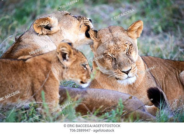 Lioness licking another lioness (Panthera leo) Moremi National Park, Okavango delta, Botswana
