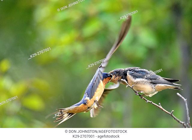 Barn swallow (Hirundo rustica) Fledgling out of the nest being fed by parent bird, Buffalo Pound Provincial Park, Saskatchewan, Canada