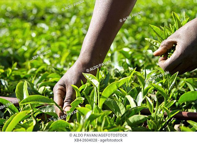 Kenya, Meru, Ktda, tea harvesting