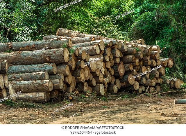 Timber plantation harvest, Logs have been felled, trimmed and numbered for the lumberyard. Cecelia Forest, Cape Town, South Africa