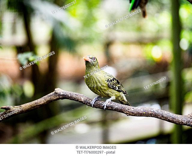 Yellow oriole (oriolus flavocinctus) perching on branch