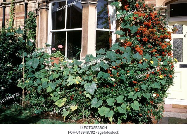 Orange pyracantha and climbing green plant on bay window of small town house