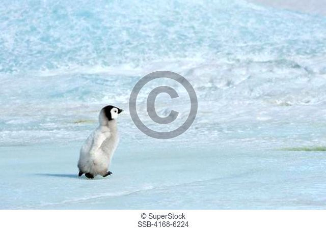 ANTARCTICA, WEDDELL SEA, SNOW HILL ISLAND, EMPEROR PENGUINS Aptenodytes forsteri, ONE CHICK WALKING ON ICE BETWEEN SATTELITE COLONIES