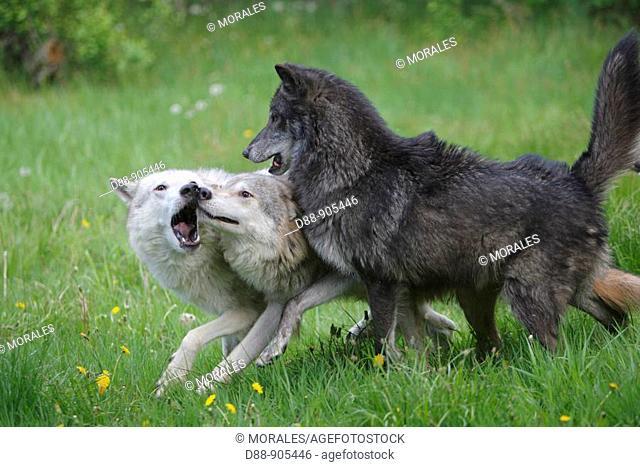 Wolf (Canis lupus). Montana, USA
