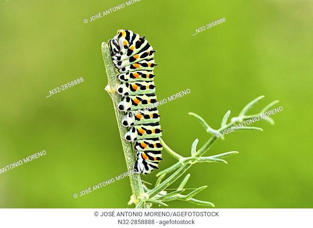 Swallowtail Caterpillar, Yellow Swallowtail (Papilio machaon) caterpillar, Benalmadena, Malaga Province, Spain