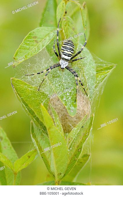 Female of the Wasp Spider guards her egg cocoon