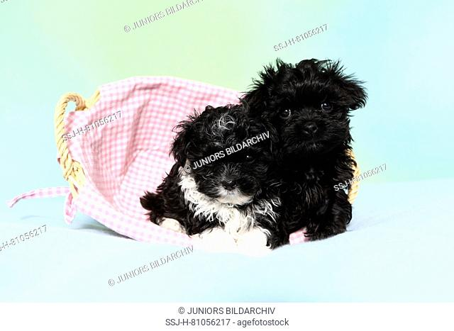 Bolonka Zwetna. Two puppies (7 weeks old) lying in a basket. Studio picture against a turquoise background