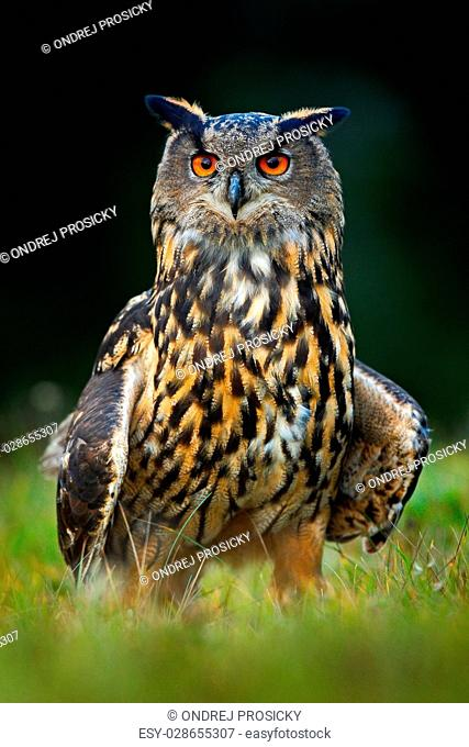 Eagle Owl, big nocturnal bird in the forest, Norway