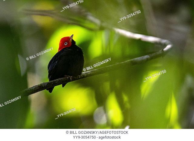 Male Red-capped manakin (Ceratopipra mentalis)- La Laguna del Lagarto Lodge, Boca Tapada, Costa Rica