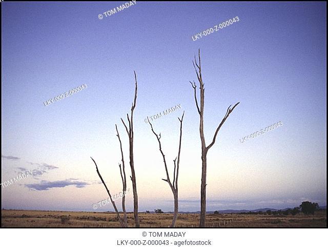 Three bare trees against Australian sky