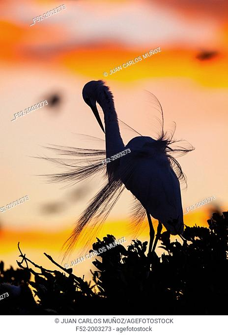 GREAT EGRET (Casmerodius albus) and Crows , Everglades National Park, FLORIDA, USA, AMERICA