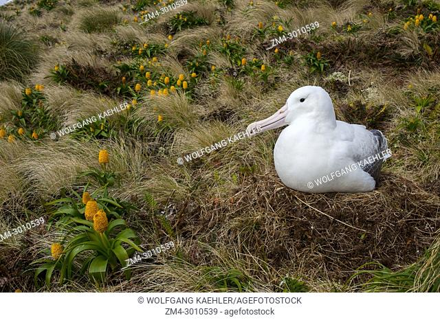 A Royal albatross nesting amongst yellow Bulbinella rossii flowers, commonly known as the Ross lily (subantarctic megaherb), on Campbell Island