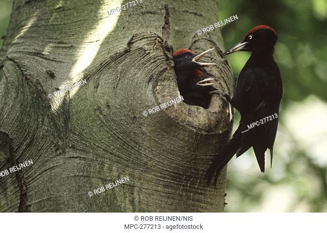 Black Woodpecker Dryocopus martius, adult at nest entrance in tree trunk, Europe