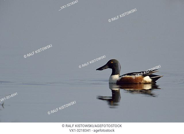 Northern shoveler / Loeffelente ( Anas clypeata ), adult male in breeding dress, swimming on calm water.