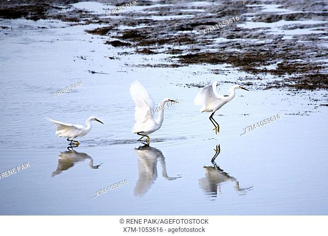 Sequence shot of snowy egret egretta thula taking flight in Alameda, California