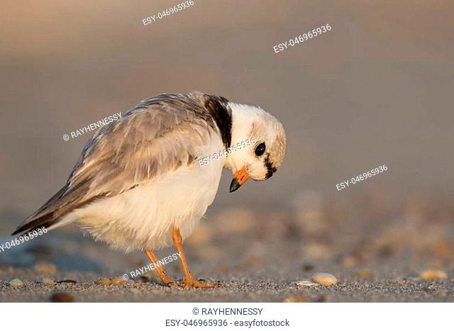 An endangered adult Piping Plover preens its feathers on a sandy beach on a bright sunny morning