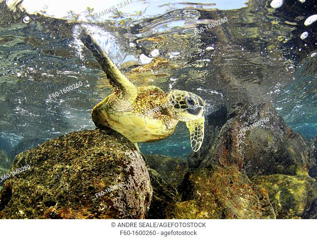 Green sea turtle, Chelonia mydas, Honaunau Bay, Hawaii, North Pacific