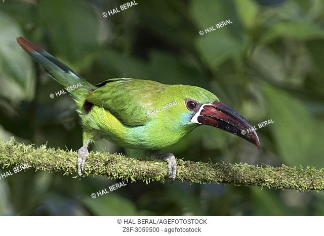 Crimson-Rumped Toucanet (Aulacorhynchus haematopygus). Ecuador
