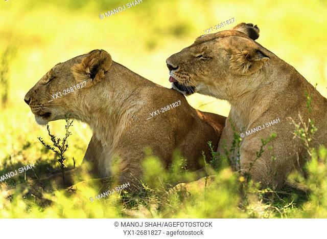 Lionesses resting