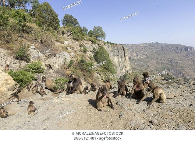 Africa, Ethiopia, Rift Valley, Debre Libanos, Gelada or Gelada baboon (Theropithecus gelada), group of females with young and male near the cliff where they...