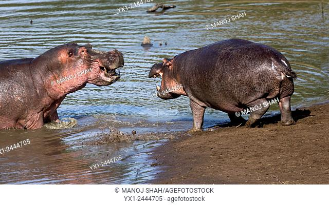 Hippos having a territorial dispute. Masai Mara National Reserve, Kenya
