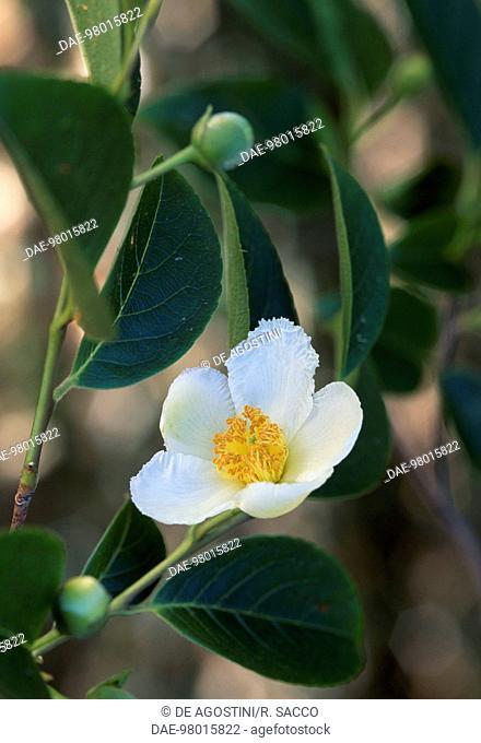 Japanese Stewartia or Deciduous Camellia (Stewartia pseudocamellia or Stuartia pseudocamellia), Theaceae