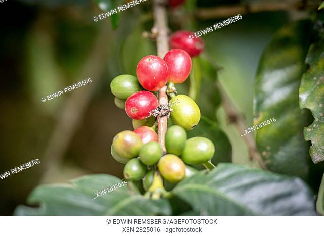 Ripe coffee beans (coffea arabica) on a coffee bush in Aquires, Costa Rica