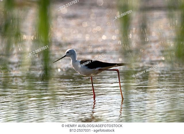 Black-winged stilt (Himantopus himantopus), Camargue, France