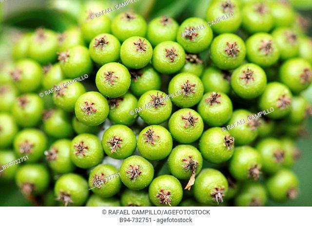 Berry-like pomes of Firethorn (Pyracantha sp.). Gardens of Menendez y Pelayo, Barcelona, Catalonia, Spain