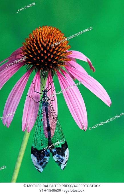 Lacewing or Antlion, Myrmeleontidae, rests on a purple coneflower, Echinacea purpurea, in summer. Missouri, USA