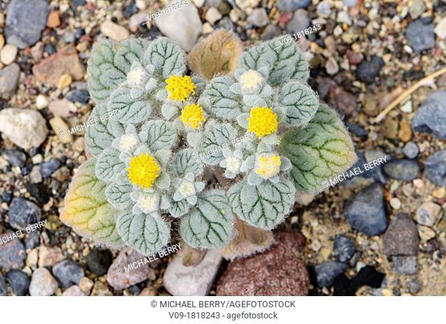 Turtleback (Psathyrotes ramosissima), California, USA