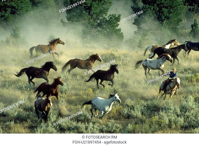 multicolored, roundup, 11, rider, single, horse
