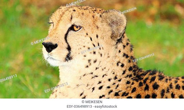 Cheetah in the nature