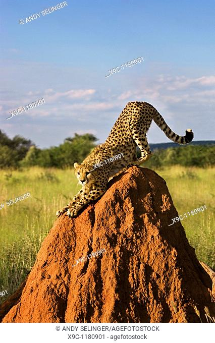 Cheetah on a Termite Mount