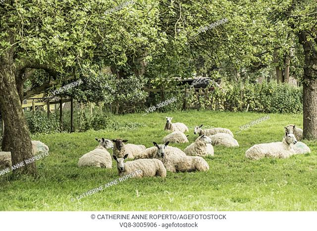Shaggy sheep with pricked ears resting under rustling leaves in the orchards of Frampton Court with an abandoned tractor in the background, Gloucestershire