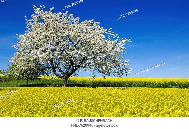 Rape fields with blooming cherry tree