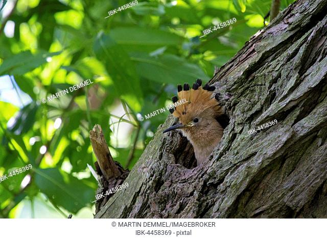 Baby hoopoe (Upupa epops), looking out of nest hole, Saxony-Anhalt, Germany