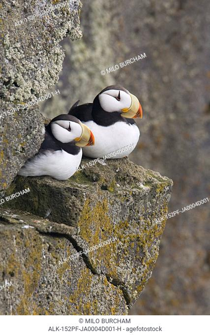 Horned Puffin pair perched on a cliff ledge during Summer, Saint Paul Island, Pribilof Islands, Bering Sea, Southwest Alaska
