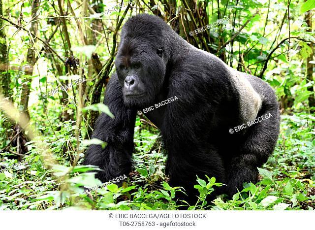 Mountain gorilla silverback (Gorilla beringei beringei) walking through vegetation in the Virunga National Park. Democratic Republic of Congo. Africa